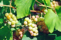 Ripe sweet bunches of grapes. royalty free stock images