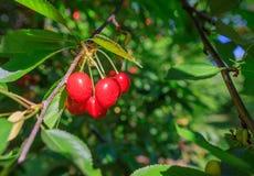 Ripe Sweet Cheeries on Tree royalty free stock image