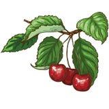 Ripe sweet cherries Royalty Free Stock Photography