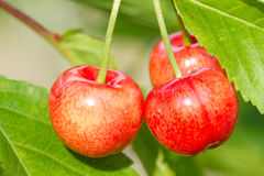 Ripe sweet cherry fruit Royalty Free Stock Image