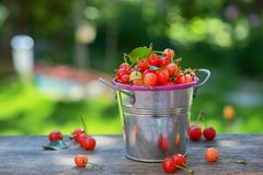 Ripe sweet cherry in small bucket Stock Images