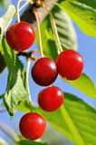 Ripe sweet cherry on a tree Royalty Free Stock Photos