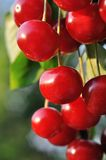 Ripe sweet cherry on a tree Stock Photo