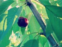 Ripe Sweet Cherry on Tree Stock Photography
