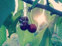 Ripe Sweet Cherry on Tree Royalty Free Stock Image