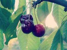 Ripe Sweet Cherry on Tree Royalty Free Stock Photo