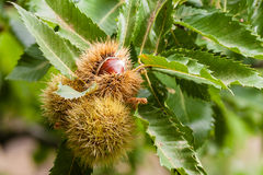 Ripe sweet chestnuts Royalty Free Stock Photography