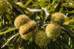 Ripe sweet chestnuts in husk on tree Stock Photo