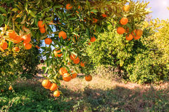 Ripe sweet oranges Stock Image