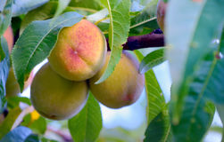Ripe sweet peach fruits Stock Photography