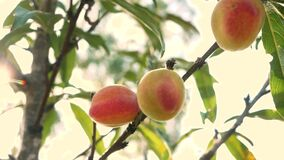 Free Ripe Sweet Peach Fruits Growing On A Peach Tree Branch With Sun Shining In The Orchard. Stock Photography - 170663762