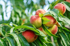 Ripe sweet peach fruits growing on a peach tree branch. In orchard Stock Photos