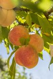 Ripe sweet peach fruits growing on a tree branch in orchard stock photo