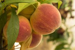 Ripe sweet peach fruits growing on a tree branch in orchard royalty free stock photos
