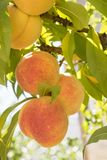 Ripe sweet peach fruits growing on a tree branch in orchard stock images