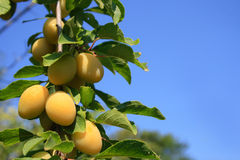 Ripe sweet plums Royalty Free Stock Images