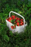 Ripe sweet strawberries in plastic basket on a. Green lawn. Outdoor Royalty Free Stock Photo