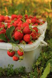 Ripe sweet strawberries in plastic basket on a. Green lawn. Outdoor Stock Photo