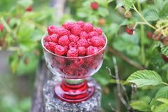 Ripe sweet summer berries. Raspberry in transparent vase on old rough wooden fence. Fresh raspberries on plant branches. Outdoors stock images