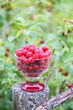 Ripe sweet summer berries. Raspberry in transparent vase on old rough wooden fence. Fresh raspberries on plant branches. Outdoors stock photo