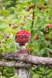 Ripe sweet summer berries. Raspberry in transparent vase on old rough wooden fence. Fresh raspberries on plant branches. Outdoors royalty free stock photo