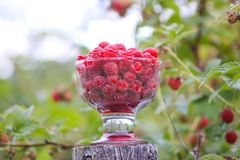 Ripe sweet summer berries. Raspberry in transparent vase on old rough wooden fence. Fresh raspberries on plant branches