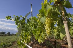 Ripe yellow grapes ready for harvesting in a family vineyard in Istria. Ripe sweet yellow grapes ready for harvesting in an organic family vineyard in Istria stock photo