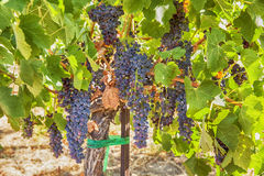 Ripe Syrah Grapes In The Vineyard Stock Images