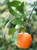 Ripe tangerine on a branch Royalty Free Stock Photo