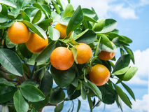 Free Ripe Tangerine Fruits On The Tree. Royalty Free Stock Photography - 86432007