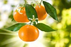 Ripe tangerine. Image of ripe tangerine in the garden closeup Stock Photos