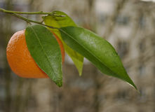 Ripe tangerine with leaves Royalty Free Stock Photography