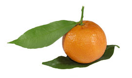 Ripe tangerine wits leaves Stock Image
