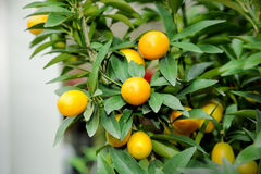 Ripe tangerines Royalty Free Stock Image