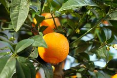 Ripe tangerines on a decorative tree. The vitamin complex Royalty Free Stock Photo