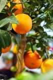 Ripe tangerines on a decorative tree. The vitamin complex Stock Image
