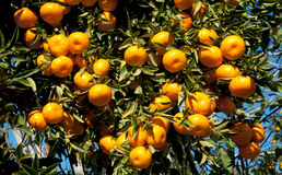 Ripe Tangerines hanging from the tree Royalty Free Stock Images