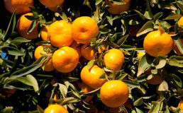 Ripe Tangerines hanging from the tree Royalty Free Stock Photo