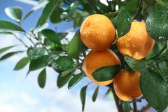 Ripe Tangerines On A Tree Branch. Royalty Free Stock Images