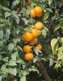 Ripe Tangerines On Tree Royalty Free Stock Photo