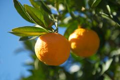 Ripe tangerines on tree Royalty Free Stock Image