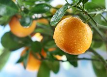 Ripe tangerines on a tree branch. Royalty Free Stock Photos