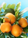 Ripe tangerines on a tree branch. Royalty Free Stock Photography