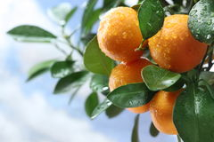 Ripe tangerines on a tree branch. Stock Photography