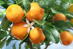 Ripe tangerines on a tree branch. Stock Image
