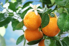 Ripe tangerines on a tree branch. Stock Photo