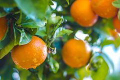 Ripe tangerines on a tree branch. Blue sky on the background. Citrus background stock photography
