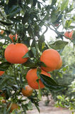 Ripe tangerines on a tree branch Stock Photos