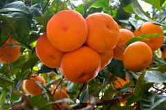 Ripe tangerines on a tree branch Royalty Free Stock Image