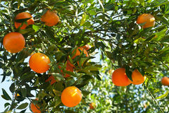 Ripe tangerines on a tree branch Stock Photo